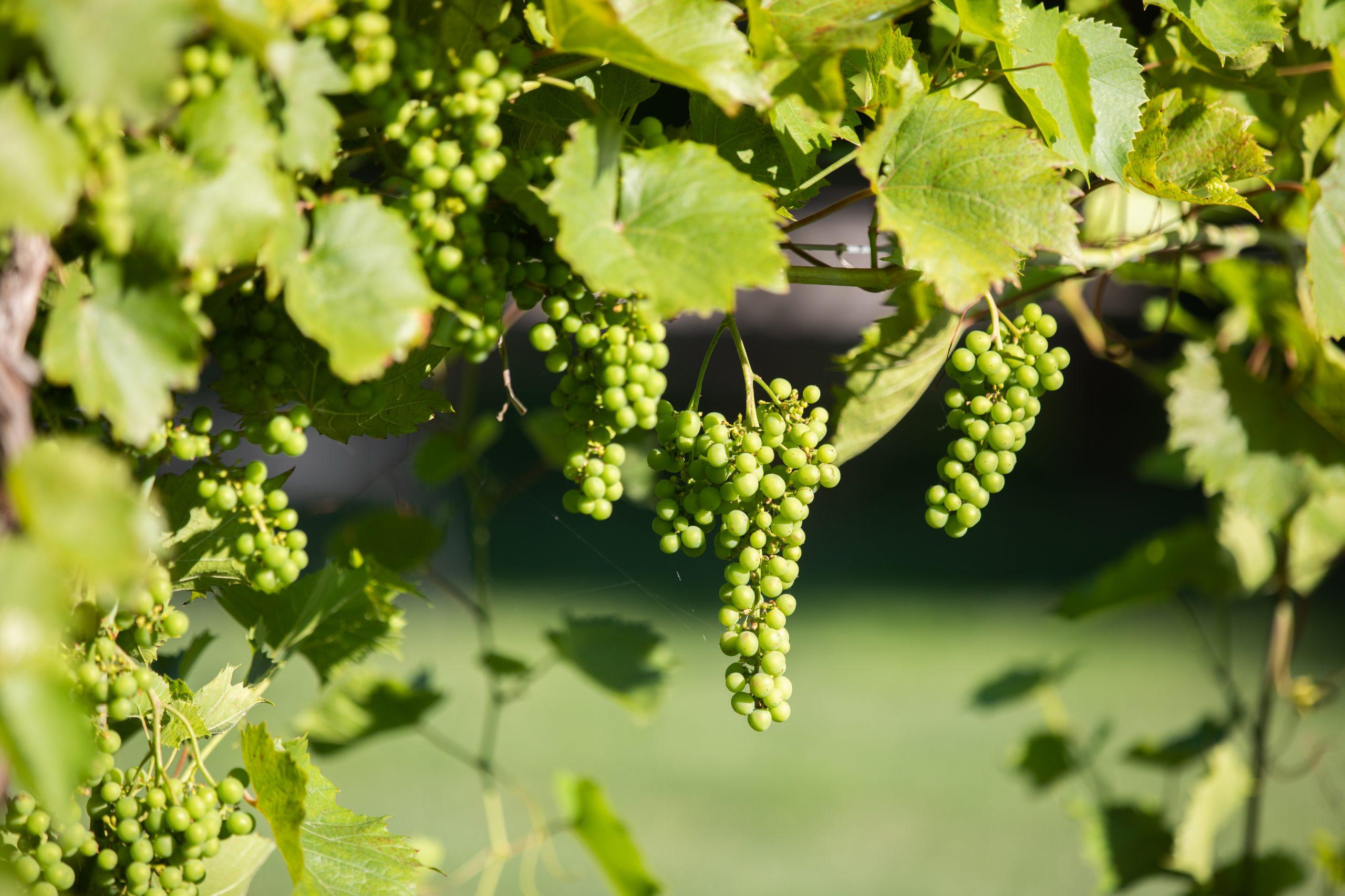 Hessenland Inn Grapes